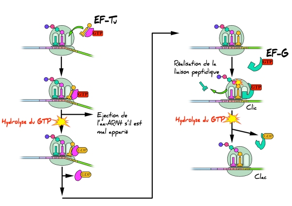 Ribosome Traduction